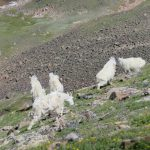 Mountain goats!