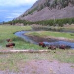 Bison in the Yellowstone National Park